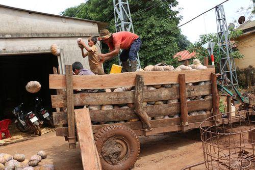 """Giá bí đỏ """"rớt thảm"""" còn 500 đồng/kg, nông dân không buồn thu hoạch - Ảnh 1"""