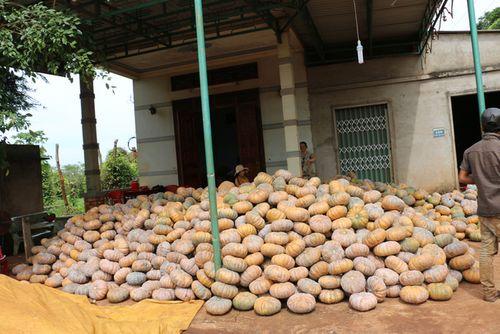 """Giá bí đỏ """"rớt thảm"""" còn 500 đồng/kg, nông dân không buồn thu hoạch - Ảnh 2"""