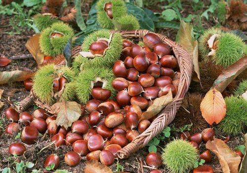 Cách chọn hạt dẻ Trùng Khánh thơm ngon - Ảnh 1