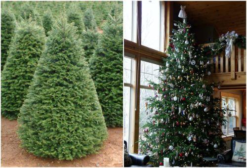 """Nhập khẩu cây thông Noel thật từ Mỹ cung cấp cho """"đại gia"""" - Ảnh 1"""