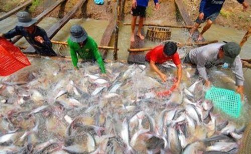 Giá cá tra có xu hướng tăng trở lại - Ảnh 1