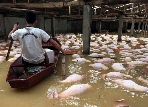 '. Sững sờ nhìn trại lợn gần 4.000 con bị xóa xổ vì nước lũ .'