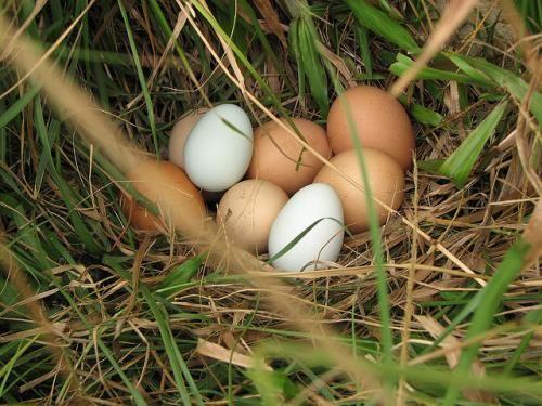 Nhiễm Fipronil - hàng triệu trứng gà phải tiêu hủy - Ảnh 1