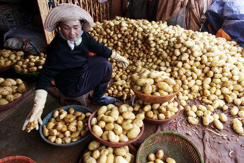 Đà Lạt nhập hơn 100 tấn khoai tây Trung Quốc - Ảnh 1