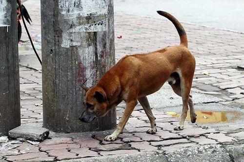 Từ 15/9, chó ra nơi công cộng không có người dắt, chủ nhận phạt 800 nghìn đồng - Ảnh 1