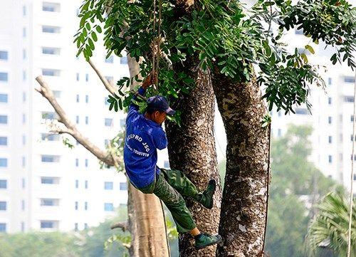 Cắt tỉa, di dời cây cổ thụ phục vụ thi công đường sắt Nhổn - Ga Hà Nội - Ảnh 2