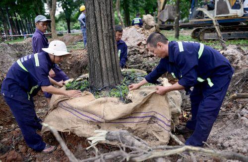 Cắt tỉa, di dời cây cổ thụ phục vụ thi công đường sắt Nhổn - Ga Hà Nội - Ảnh 3