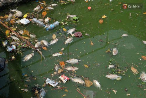 Cá chết trắng bất thường ở Hồ Tây  - Ảnh 1