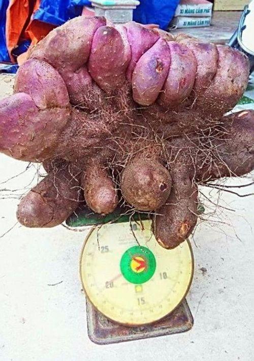 Đào được củ khoai mỡ khổng lồ nặng 21kg - Ảnh 1