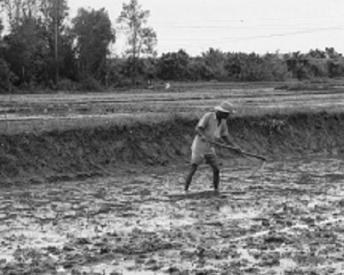 """Sau lũ lịch sử, """"đại dịch"""" ốc bươu vàng khiến nông dân khóc ròng - Ảnh 2"""
