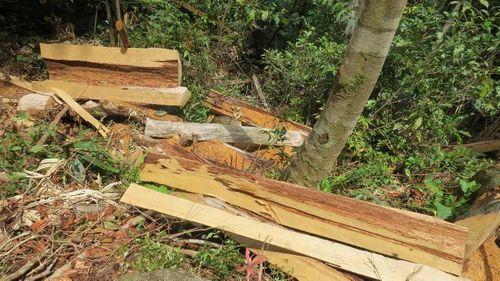 Vụ phá rừng Pơ mu trong khu BTTN: Công an Nghệ An nói gì? - Ảnh 3