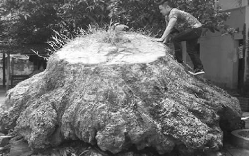 Bí ẩn gốc gù hương giống hệt cụ rùa khổng lồ nằm rêu phong trong hạt kiểm lâm  - Ảnh 1