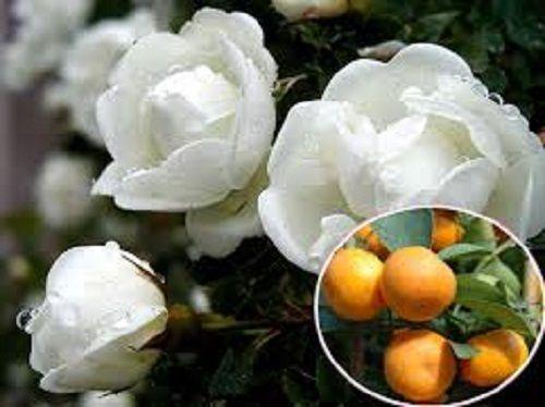 Mách bạn mẹo trị ho hiệu quả cực từ nguyên liệu không ngờ: hoa hồng bạch - Ảnh 2