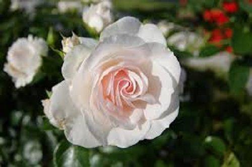 Mách bạn mẹo trị ho hiệu quả cực từ nguyên liệu không ngờ: hoa hồng bạch - Ảnh 1