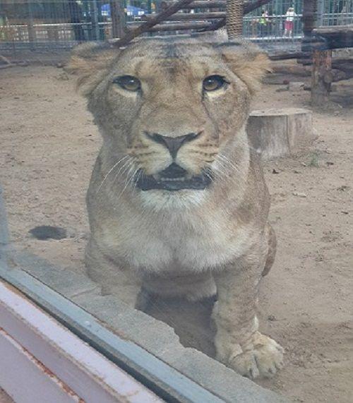 Say xỉn và vuốt ve sư tử, nhân viên vườn thú bị cắn nát tay - Ảnh 1