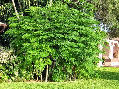 Tìm hiểu về tác dụng chữa bệnh của cây chùm ngây - Ảnh 1
