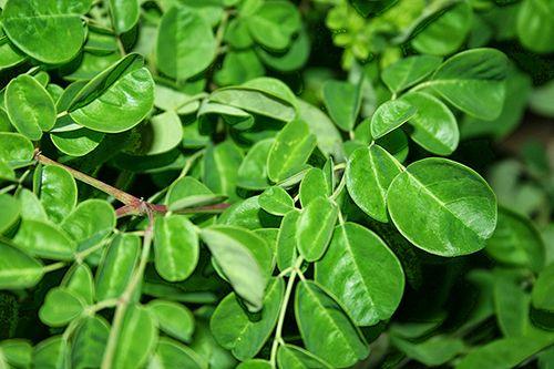 Tìm hiểu về tác dụng chữa bệnh của cây chùm ngây - Ảnh 2