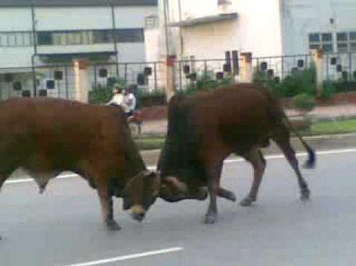 Chồng tổ chức chọi bò, vợ bị húc chết - Ảnh 1