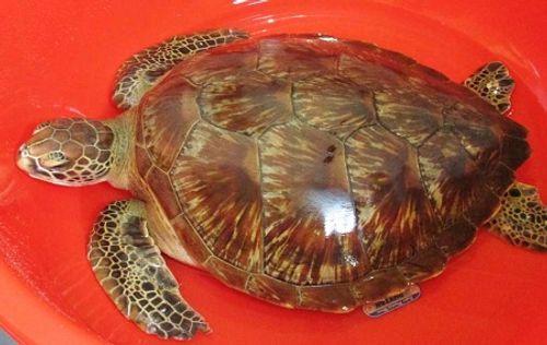 Phát hiện rùa biển quý hiếm nặng 12 kg ở Long An - Ảnh 1