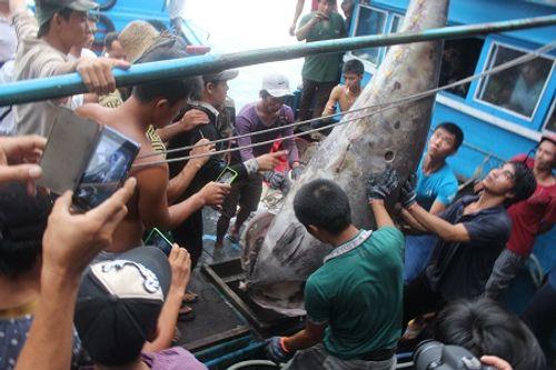 Cá ngừ vây xanh 307 kg đánh bắt ở Hoàng Sa lập kỷ lục Việt Nam - Ảnh 1