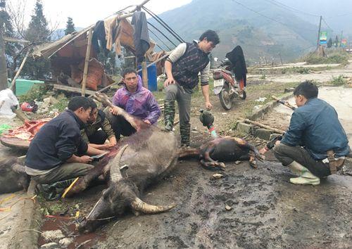 Lào Cai: Xẻ thịt trâu, bò chết rét bán bên đường - Ảnh 1