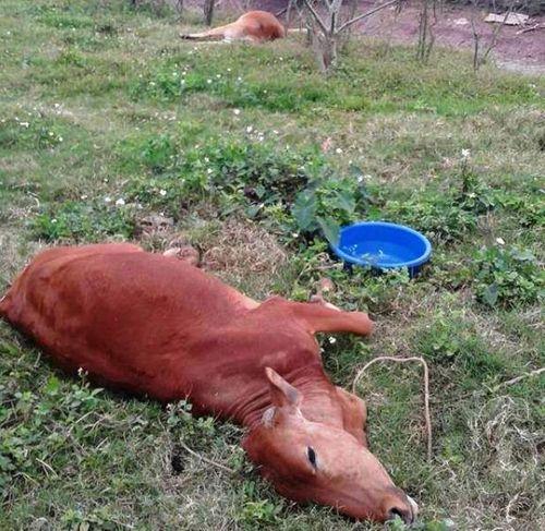 Điều tra vụ 9 con bò chết bất thường ở Thái Bình - Ảnh 1