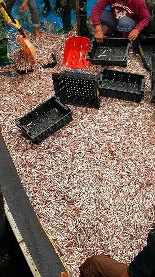 Ngư dân trúng đậm 200 tấn cá cơm ngày giáp Tết - Ảnh 2