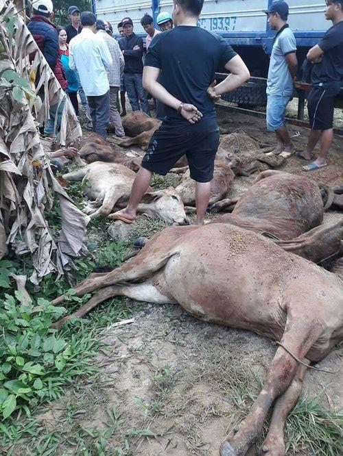 Truy tìm xe tải chở 13 con bò chết bán cho dân - Ảnh 1