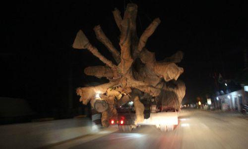 """Xe chở cây khủng như """"quái thú"""": Cây của Thiếu tướng CSGT? - Ảnh 1"""
