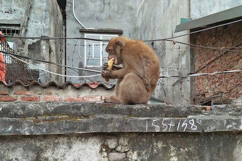 """Khỉ hoang bắt gà, ăn trộm trứng, """"đại náo"""" khu dân cư ở Hà Nội - Ảnh 1"""