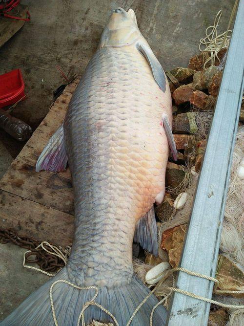 Bắt được cá trắm đen khổng lồ, nặng 61kg ở hồ Thác Bà - Ảnh 1