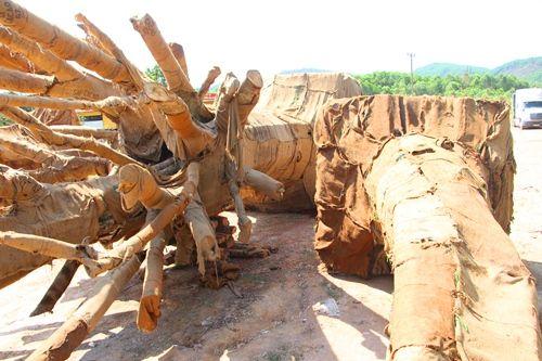 """Kiểm lâm Thừa Thiên- Huế xác minh nguồn gốc 3 cây cổ thụ """"siêu khủng"""" - Ảnh 1"""