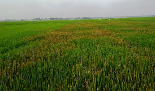 Nghi người tình lấy ví, lão nông phun thuốc diệt cỏ vào ruộng lúa để trả đũa - Ảnh 1