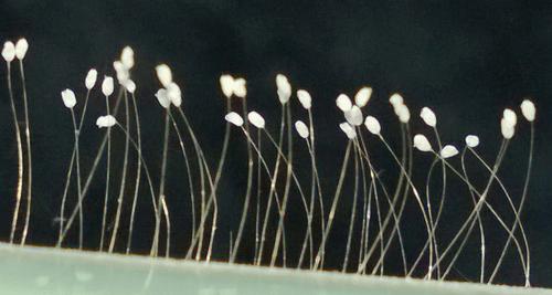 Thực hư hoa ưu đàm 3.000 năm mới nở xuất hiện tại TP.HCM - Ảnh 2