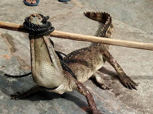 Hoảng hồn cá sấu dài hơn 1m sổng chuồng bơi ra mương nước - Ảnh 1