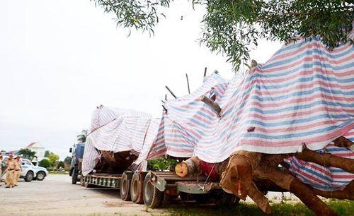"""Tình tiết bất ngờ vụ xe chở cây """"khủng"""" bị CSGT tỉnh Quảng Ngãi tạm giữ - Ảnh 1"""
