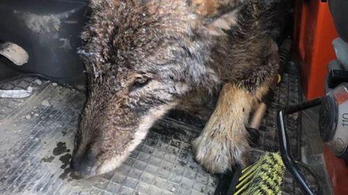 3 công nhân cứu sói đông cứng dưới băng vì nhầm là chó - Ảnh 2