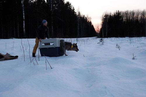 3 công nhân cứu sói đông cứng dưới băng vì nhầm là chó - Ảnh 3