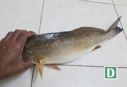 """Một người câu được 6 con cá """"lạ"""" nghi là cá sủ vàng quý hiếm ở Cam Ranh - Ảnh 1"""