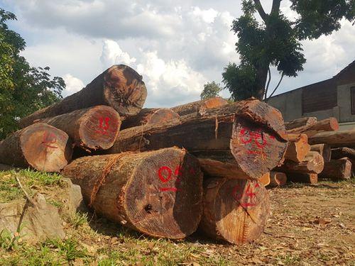 Vụ Hạt trưởng kiểm lâm bị bắt: Gia đình Chi cục trưởng Kiểm lâm giao nộp 8m3 gỗ - Ảnh 1