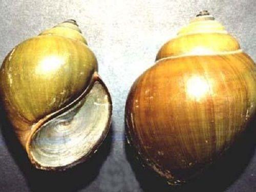 Nhậu với ốc bươu, hai người tử vong ở Quảng Nam - Ảnh 1