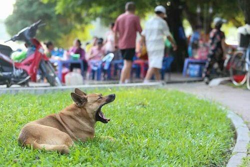 Chó vẫn thả rông, không rọ mõm khắp công viên, đường phố Hà Nội  - Ảnh 11