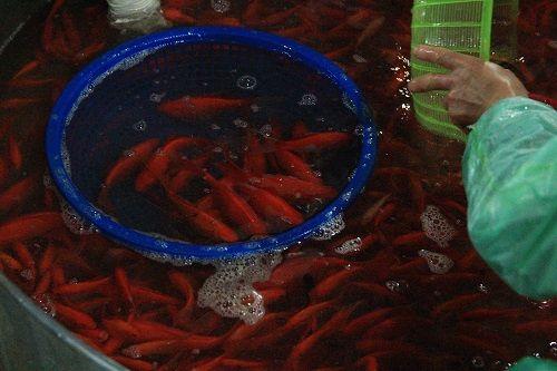 Đỏ rực chợ cá chép lớn nhất Thủ đô trước ngày ông Táo - Ảnh 10