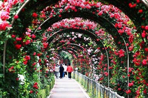 Du khách thất vọng vì lễ hội hoa hồng Bulgaria không như quảng cáo - Ảnh 1