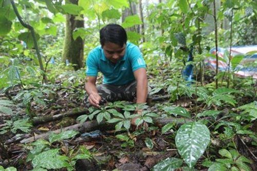Vụ trộm hơn 500 gốc sâm Ngọc Linh: Bắt khẩn cấp một cán bộ quản lý rừng - Ảnh 1