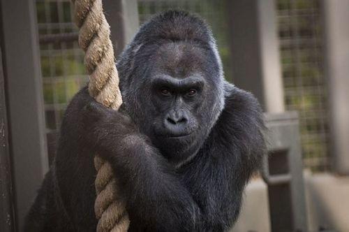 Khỉ đột nuôi già nhất thế giới qua đời - Ảnh 1