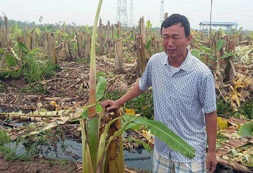 Gần 3000 cây chuối bị côn đồ phá nát trong đêm, chủ vườn mếu máo - Ảnh 1
