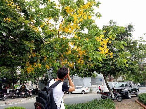 Quốc hoa Thái Lan vàng ruộm phố  Hà Nội - Ảnh 1