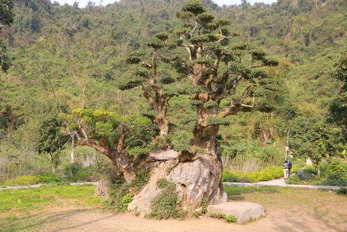 Cây duối nghìn năm tuổi được chào giá chục tỷ, chủ vườn chưa bán - Ảnh 1