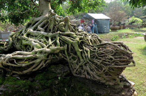 """Cây sanh có bộ rễ hình kim quy cõng rồng được """"chào giá"""" 4 tỷ  - Ảnh 2"""